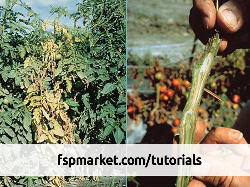 پژمردگی های گوجه فرنگی