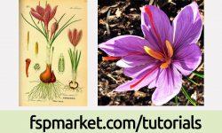 گیاه شناسی زعفران