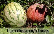 آفات خربزه و هندوانه