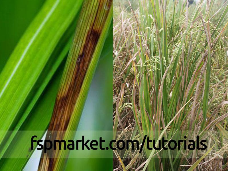 باکتری برنج