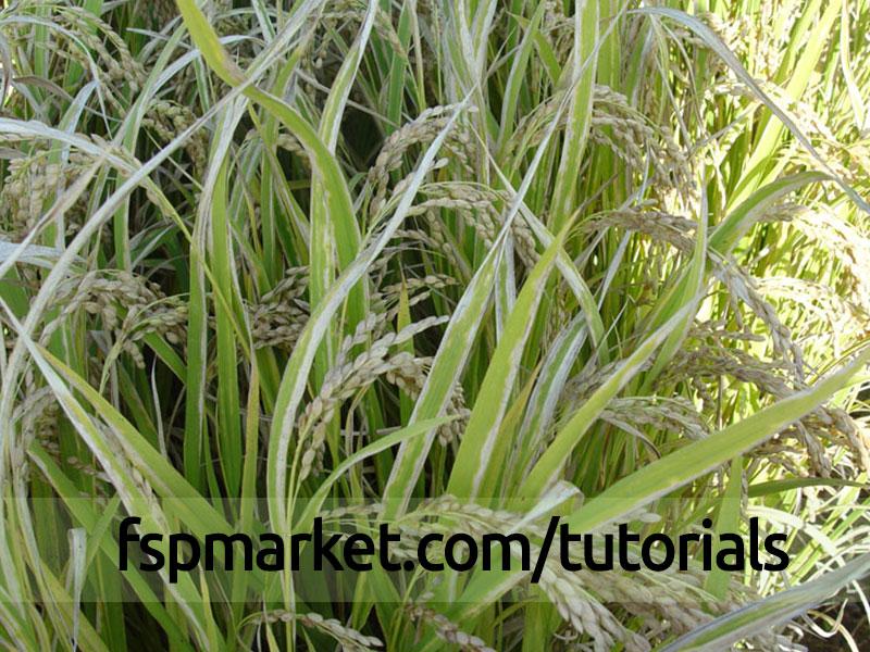 بیماری باکتریایی برنج