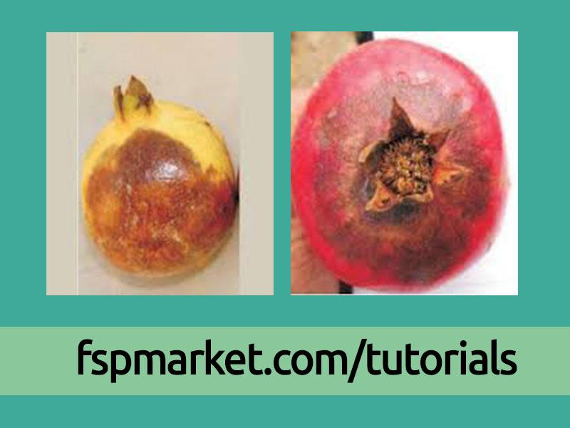 فیتوفترا در میوه انار