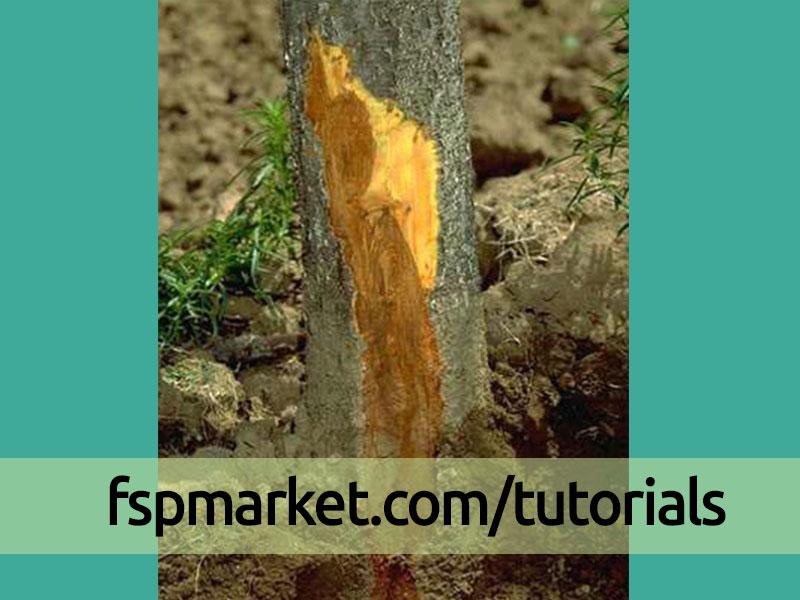 پوسیدگی فیتوفترایی در ریشه و تنه درختان