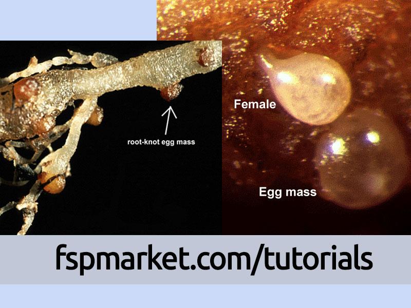 تخم و نماتد ماده بالغ Meloidogyne spp.