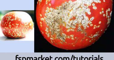 علت اصلی بیماری شانکر گوجه فرنگی