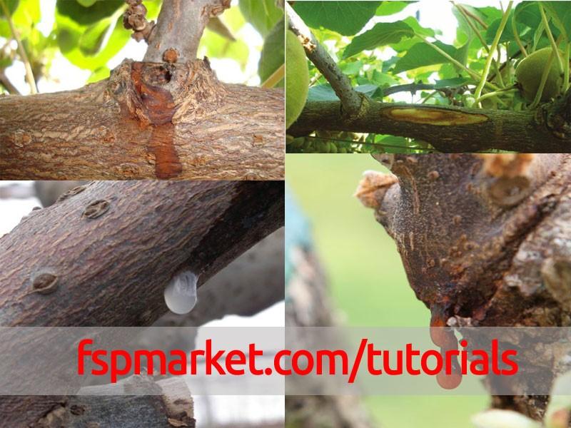 نشانه های بیماری خشکیدگی باکتریائی یا شانکر خونی کیوی روی تنه و سرشاخه های درخت