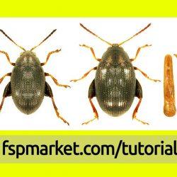 کک چغندر C. tibialis - از چپ به راست: حشره نر، حشره ماده، ژنیتالیای حشره نر.