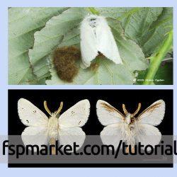 پروانه سفید دم قهوه ای (پروانه برگخوار دم قهوه ای)