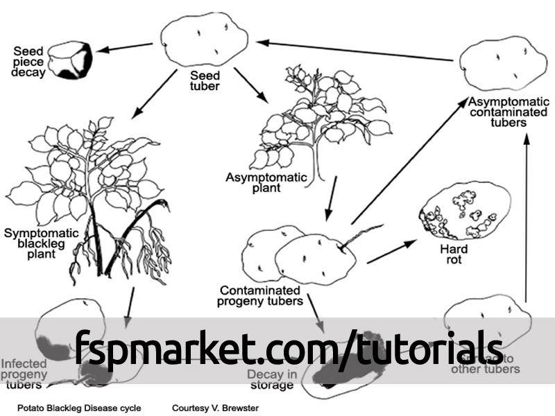چرخه زندگی بیماری پوسیدگی نرم یا ساق سیاه سیب زمینی