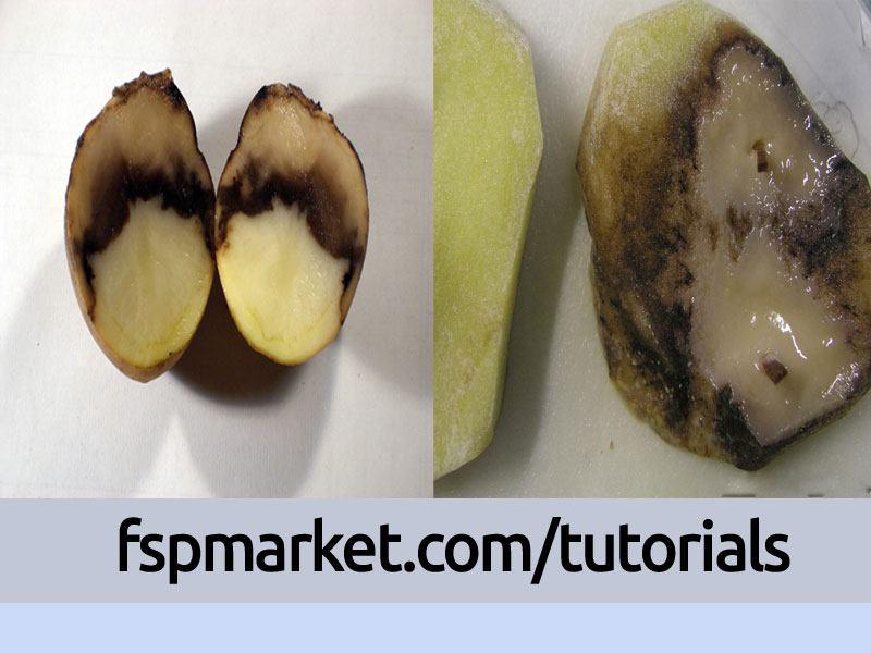 نشانه های ساق سیاه بر روی غده سیب زمینی