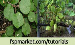 مدیریت تغذیه باغات کیوی از طریق کود دهی و هرس