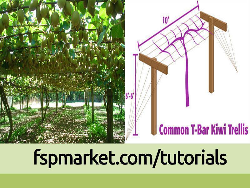 احداث باغ کیوی به روش داربستی