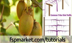 کاشت، داشت و برداشت کیوی بخش دوم : نحوه صحیح هرس درخت کیوی این مرحله از مهمترین مراحل رشد کیوی به شمار می رودکه عبارتند از: هرس، آبیاری، کود دهی، سله شکنی، خاک دهی پای نهال، مبارزه با آفات و بیماری ها و....در این بخش هرس درخت کیوی به طور کامل شرح داده خواهد شد. هرس کیوی : تعداد گل در کیوی بسیار زیاد است ولی تعداد کمی از آنها به میوه تبدیل می شود، برای گل دهی بیشتر باید درخت کیوی را هرس کرد. ازعوامل تشکیل تعداد کم میوه در کیوی می توان به عدم گرده افشانی، سقط جوانه گل، عدم تامین نیاز سرمایی، متعادل نبودن نسبت بین برگ و میوه اشاره کرد. شاید مهمترین مسئله در پرورش کیوی گرده افشانی گل های آن باشد، چرا که رابطه مستقیم با تعداد و اندازه نهایی میوه دارد. هرس درختان ماده و نر با هم فرق دارند. بازوهای میوه دهنده کیوی، فقط روی شاخه های سال جاری که از روی شاخه های سال قبل منشعب شده اند بوجود می آید. عمدتا 6 عدد از شکوفه های انتهایی شاخه تبدیل به میوه می گردد. شاخه های ایده آل برای تولید میوه آنهایی هستند که در آنها فاصله بین جوانه ها کم باشد و جوانه ها خوب رشد نموده و به طرف بالا قرارگرفته باشند. تاکهای کیوی مثل تاکهای انگور شدیداً به هرس نیاز دارند. میوه آن روی تی - بارهای یکساله یا بیشتر رشد می کنند، اما با پیر شدن تی- بارها خم می شوند. تی ها را باید بعد از سال سومشان برید و جایگزین کرد. انواع هرس کیوی 1-هرس زمستانه : هرس زمستانه درختان کیوی مهم ترین و ضروری ترین عملیات اجرایی برای تولید محصول است و بیشترین تأثیر را روی فیزیولوژی و فرآیند گلدهی و در نهایت میوه دهی درختان دارد. این هرس پس از ریزش برگ (اواخر آذر ماه ) تا قبل از شروع رشد سالیانه ( اواخر بهمن) انجام می شود. انجام این هرس پس از شروع رشد ریشه موجب ضعف شدید درختان کیوی می شود. الف) هرس شاخه های یکساله کامل: این هرس بصورت شاخه های انگوراست. راهنمای اصلی جهت انجام این هرس سیم ثابت مرکزی است. معمولا در سیستم ستونی تی بار، طوری هرس می کنند که هر شاخه فرعی حدود 25 تا40 سانتی متر از همدیگر قرارگیرند. تا بدین صورت از توهم رفتگی شاخه ها و سایه اندازی زیاد جلوگیری شود. در این سیستم شاخه های آویزان کناری را تا ارتفاع زانو از سطح زمین قطع میکنند یا اینکه انتهای شاخه ها را به طوری که از زمین فاصله مشخصی داشته باشد، هرس میکنند. 