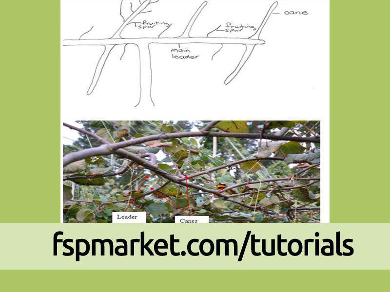4- فصل چهارم رشد درخت کیوی: