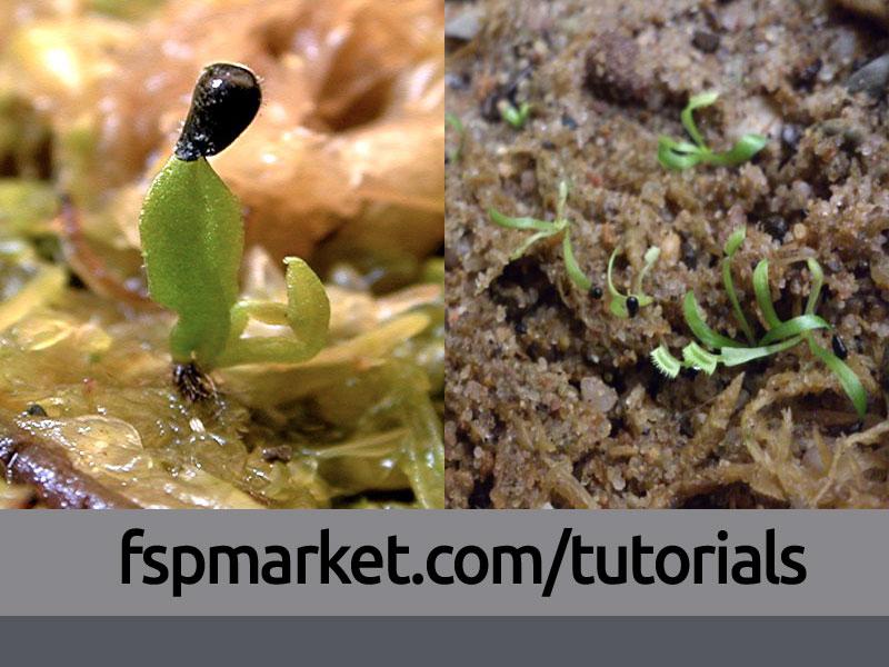 کاشت بذر ونوس حشره خوار در منزل
