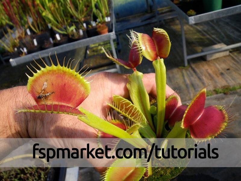 چگونه گیاه ونوس طعمه را هضم میکند ؟