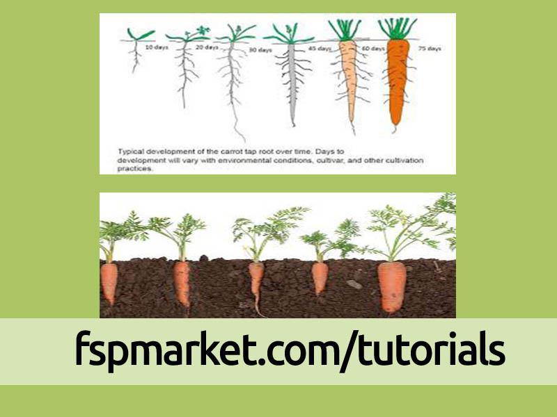 مراحل رشدی گیاه هویج