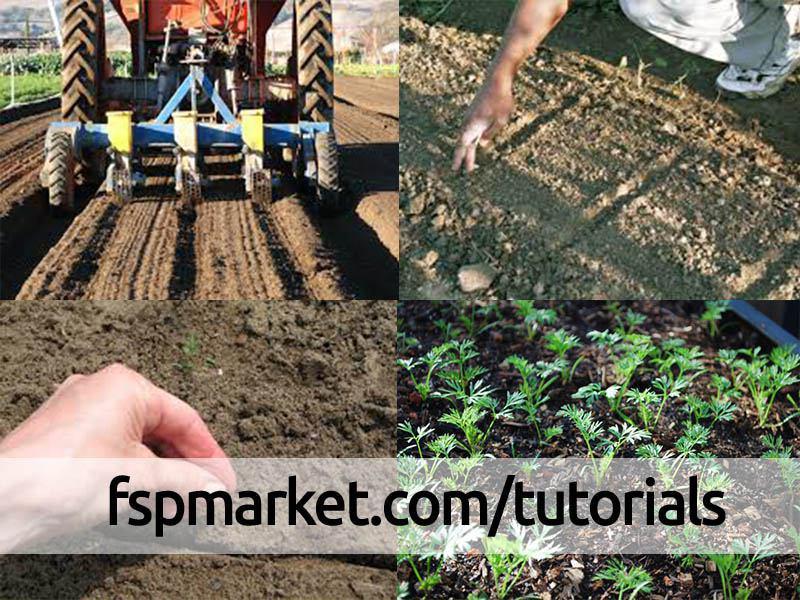 کاشت هویج در سطح وسیع