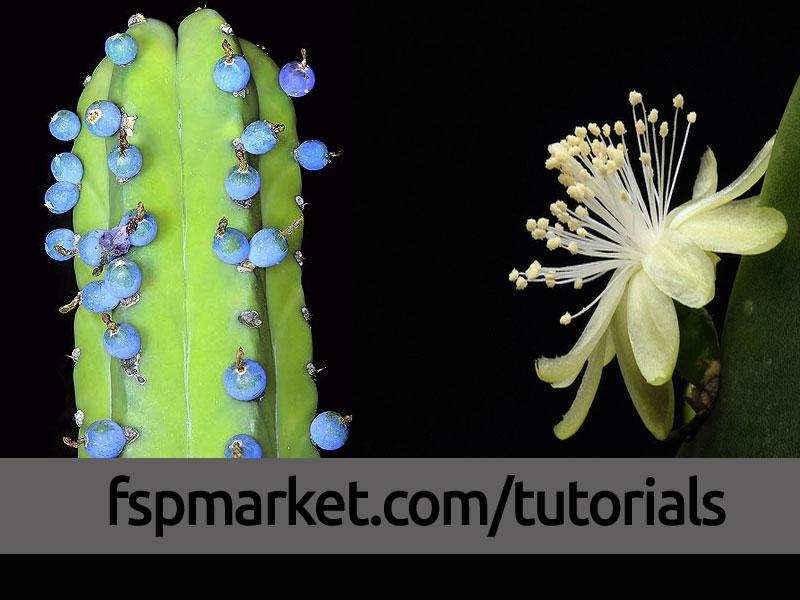میوه و گل میرتلو کاکتوس ژئومتریزانس